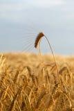 пшеница спайка Стоковая Фотография RF