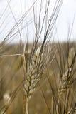 пшеница спайка Стоковое Фото