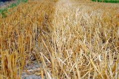пшеница сторновки поля Стоковое Фото