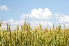 Пшеница с тучными белыми облаками Стоковое Изображение