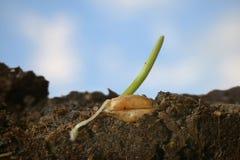 пшеница текстуры зерна конструкции предпосылки Стоковая Фотография RF