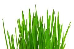 пшеница травы Стоковое фото RF