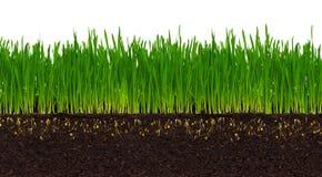 пшеница травы Стоковое Изображение RF