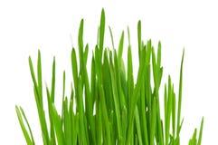 пшеница травы Стоковое Изображение