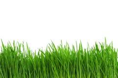 пшеница травы Стоковые Изображения
