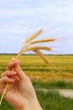 пшеница удерживания Стоковые Фото