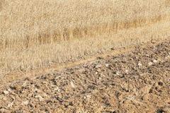 пшеница урожая зрелая Стоковое Изображение