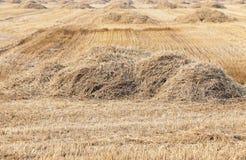 пшеница урожая зрелая Стоковые Фотографии RF