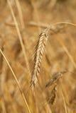 пшеница урожая Стоковая Фотография
