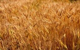 пшеница урожая стоковое изображение