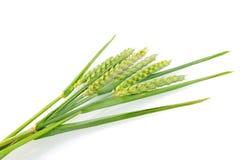 пшеница уха Стоковые Фотографии RF