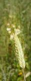 пшеница уха Стоковое Изображение