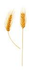 пшеница уха Стоковая Фотография RF