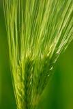 пшеница уха Стоковые Изображения RF