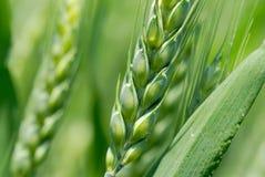 пшеница ушей зеленая стоковая фотография rf