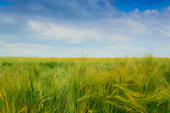 пшеница ушей зрелая Стоковое Фото
