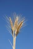 пшеница ушей пука Стоковые Фотографии RF