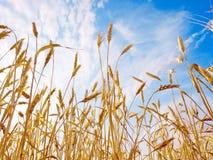 пшеница ушей Стоковое Изображение