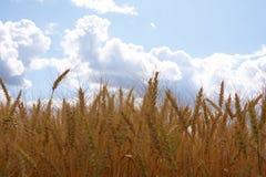 пшеница ушей Стоковое Изображение RF