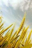пшеница ушей Стоковое Фото
