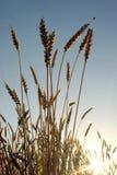пшеница ушей Стоковое фото RF