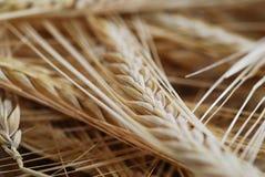 пшеница фокуса селективная Стоковое Фото
