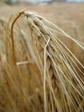 пшеница хлебоуборки готовая Стоковое фото RF