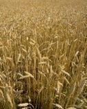 пшеница хлебоуборки поля готовая Стоковая Фотография RF