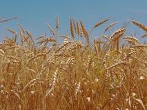 пшеница хлебоуборки поля готовая Стоковое Изображение RF