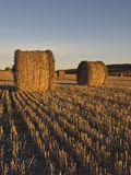 пшеница хлебоуборки поля Стоковое Фото