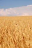 пшеница хлебоуборки Стоковая Фотография