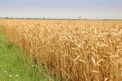 пшеница хлебоуборки Стоковые Изображения