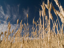 пшеница хлебоуборки Стоковые Изображения RF