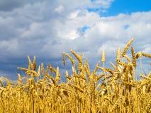 пшеница хлебоуборки Стоковые Фото