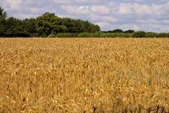 пшеница хлебоуборки поля готовая Стоковая Фотография