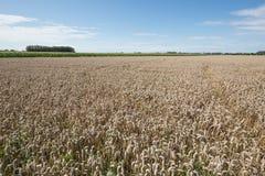 пшеница хлебоуборки поля как раз Стоковое фото RF