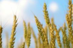 пшеница 02 Стоковое Фото