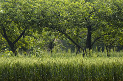 пшеница 03 Стоковое Изображение