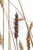 пшеница Стоковая Фотография RF