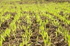 пшеница 2 доск Стоковое Фото