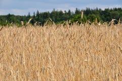 пшеница 2 полей Стоковое Изображение