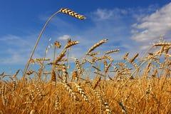 Пшеница Стоковое фото RF