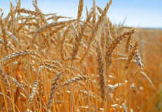 пшеница 3 хлебоуборок Стоковые Изображения