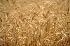Пшеница Стоковые Изображения