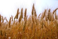 пшеница Стоковые Изображения RF