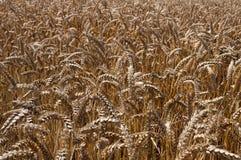 Пшеница Стоковые Фото