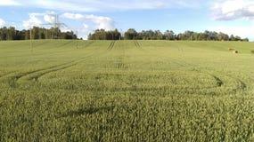 Пшеница Стоковое Фото
