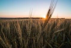 Пшеница 1 Стоковые Изображения
