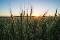 пшеница 5 Стоковая Фотография
