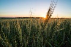 Пшеница 6 Стоковое Фото